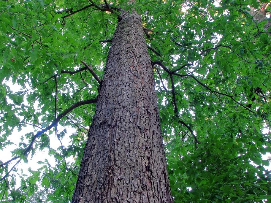 Khái quát chung về chất liệu gỗ sồi